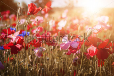 Obraz Red and pink poppies with wildflowers in sunny summer meadow