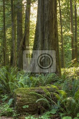 Red Cedar i paproci Lasów