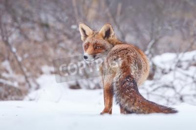 Obraz red fox in the snow