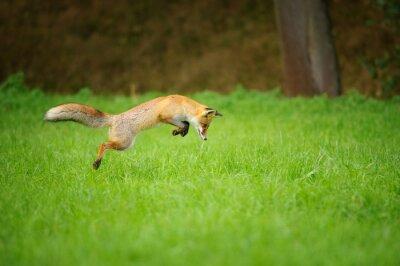 Obraz Red Fox na polowanie, mousing w grassfield
