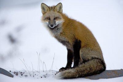 Obraz Red Fox odpoczywa