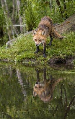 Obraz Red Fox Reflection