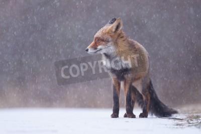 Obraz red fox w ciężkich