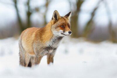 Obraz Red fox w śniegu