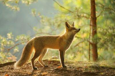 Obraz Red Fox z widoku z boku na piękno podświetlenie w lesie jesienią