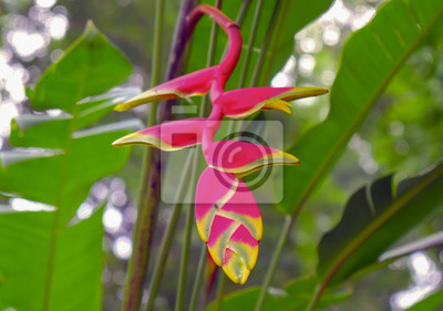 Red Heliconia kwiat / Red Heliconia kwiat w dżungli.