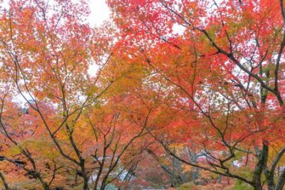 Obraz Red maple leaves or fall foliage in colorful autumn season near Fujikawaguchiko, Yamanashi. Five lakes. Trees in Japan with blue sky. Nature landscape background
