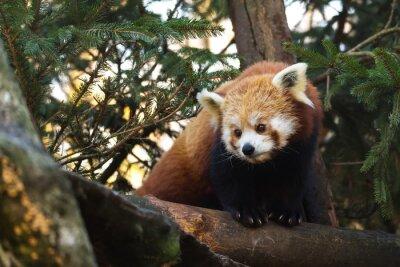 Obraz Red Panda (Ailurus fulgens)