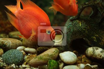 Obraz Red Papuga Ryba W Akwarium Pielęgnice Z Jeziora Malawi Na
