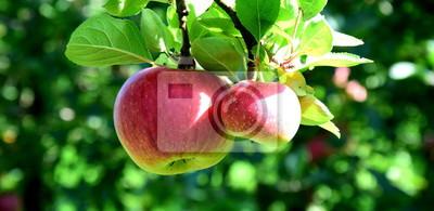 Obraz Reife Äpfel - Apfelbaum - Apfelernte in Südtirol