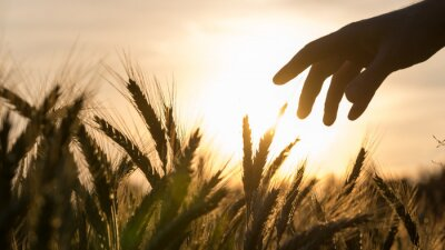 Obraz Ręka w polu pszenicy rolnik wzruszającej