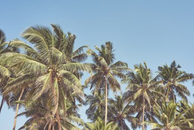 Retro toned picture of coconut palm trees against the sky.