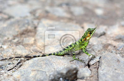 Rhino Horned Lizard (Ceratophora stoddartii) .National parku Horton Plains. Sri Lanka. Azja.