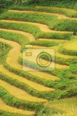 Rices pola w Sapa, Wietnam