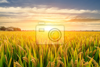 Obraz Ripe rice field and sky background at sunset time with sun rays