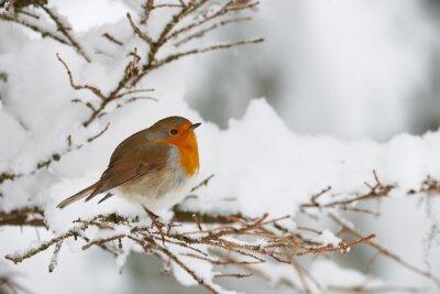 Obraz Robin w śniegu