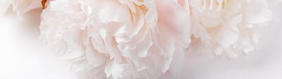 Obraz Romantic banner, delicate white peonies flowers close-up. Fragrant pink petals