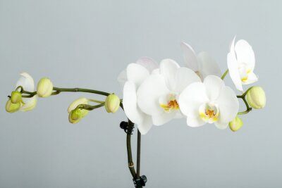 Obraz romantyczna gałąź białych orchidei
