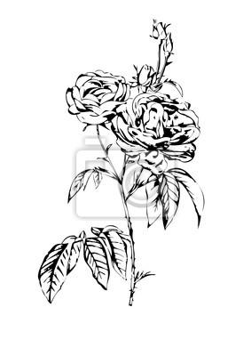 Obraz Rose kwiat rysunek sztuki ilustracji czarny