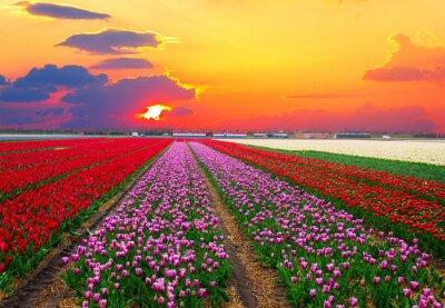 Obraz Rows of dutch tulips