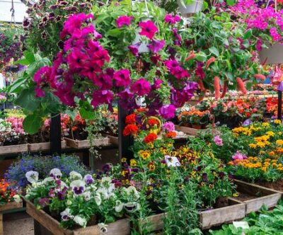 Obraz Rows of flower seedlings in the village market