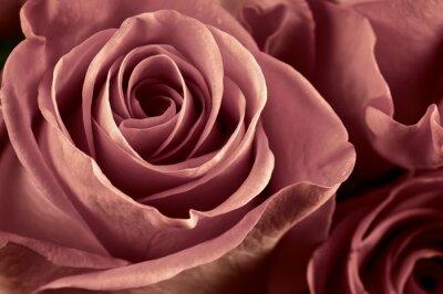 Obraz Róża kwiaty z bliska