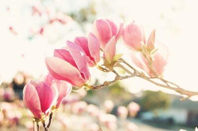Obraz Różowa Magnolia kwiaty