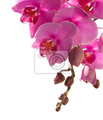 różowa orchidea samodzielnie na białym tle.