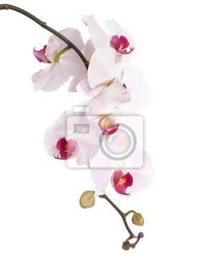 różowa orchidea samodzielnie na białym tle