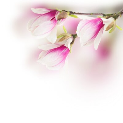 Obraz różowe kwiaty drzewa magnolii