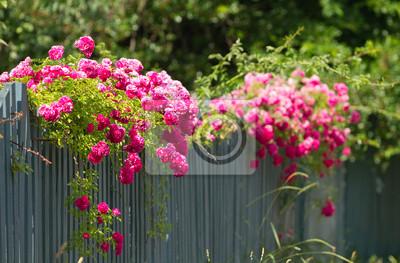 Różowe Róże Na Płocie Obrazy Redro