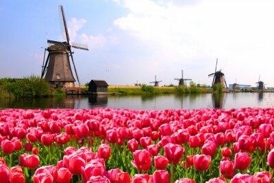 Obraz Różowe tulipany z holenderskich wiatraków wzdłuż kanału, Holandia