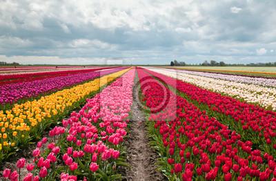 Obraz różowy, czerwony i pomarańczowy pole tulipanów