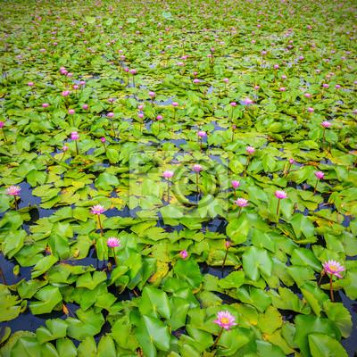 Obraz różowy kwiat lotosu uroda