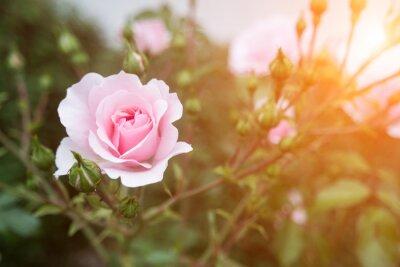Obraz różowy kwiat róży