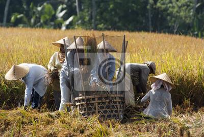 Ryż młocarni w Bali, Indonezja