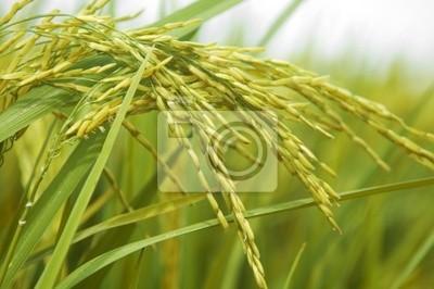 Ryż niełuskany. Upraw ryżu gotowe do zbioru.