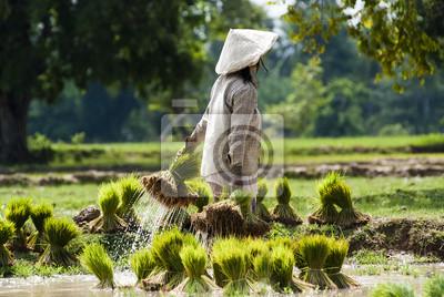 Ryż plantacji w Laosie