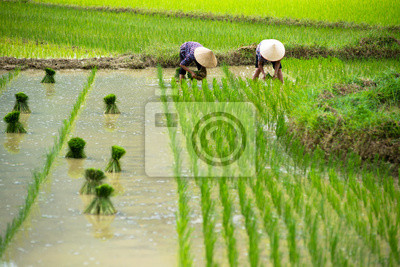 Ryż przesadzania w Wietnamie