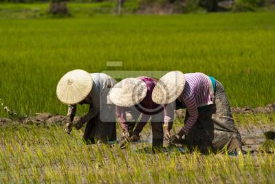 Ryż Przesadzanie w Laosie