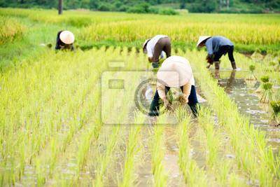 Ryż przeszczepienia w Wietnamie