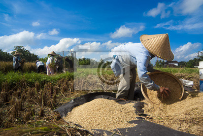 Ryż winnowing w Bali, Indonezja