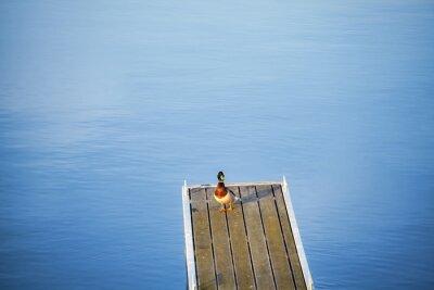 Samotna kaczka na pustym molo.