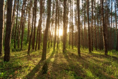 Obraz scene of beautiful sunset at summer pine forest with trees and grass, landscape