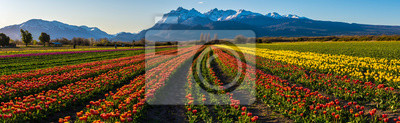Obraz Scene view of field of tulips against clear sky in Trevelin, Patagonia, Argentina