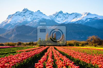 Obraz Scene view of field of tulips against snow-capped Andes mountains and clear sky in Trevelin, Patagonia, Argentina
