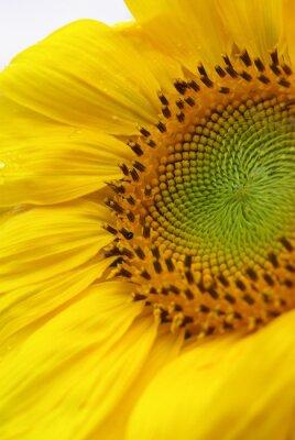 Obraz schoene sonnenblume