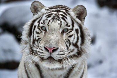 Obraz Seksowny portret młodej Biały Tygrys bengalski