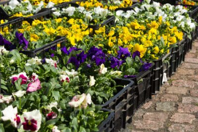 Obraz Selling seedlings of Pansy Viola flowers of various colors in boxes on the market