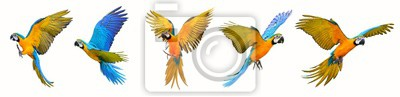 Obraz Set of macaw parrot isolated on white background